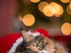 Christmas cat Murfreesboro pet photographer