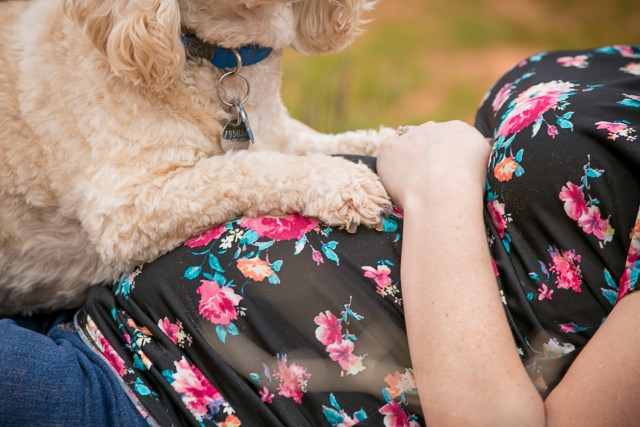 maternity dog photography, dog on his moms belly