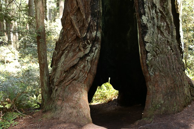 Redwood tree cave