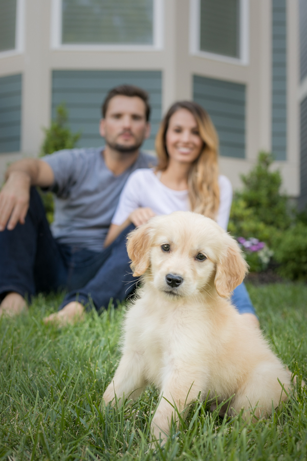 golden retriever puppy in front of parents