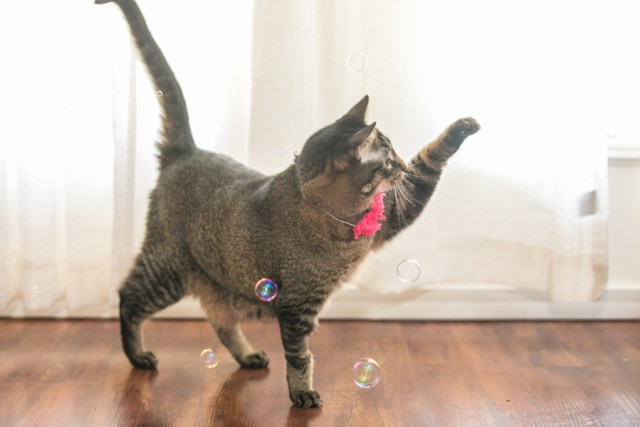 Cat Photography at your home, cat playing with bubbles