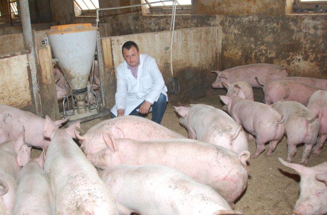 Как открыть свиноводческое хозяйство