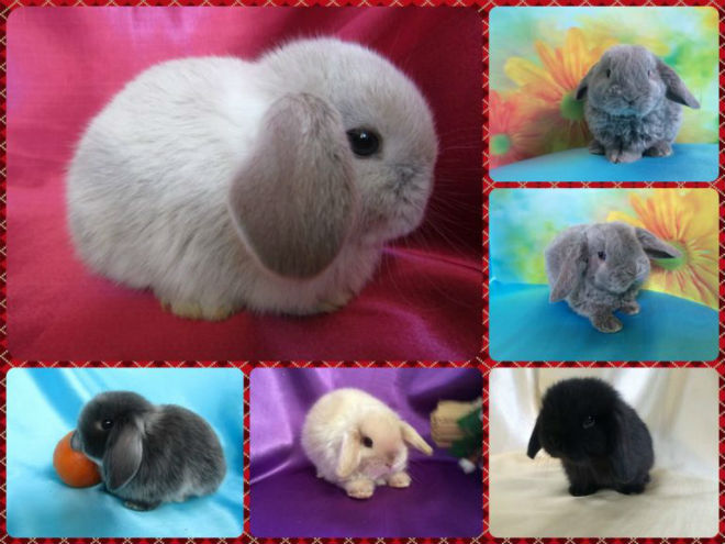 Содержание вислоухого карликового кролика