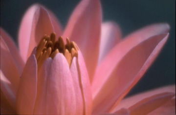 Pink Water Lily Close-up (1/2)