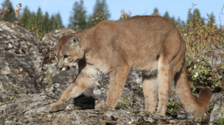 Quotas lifted or raised for hunting cougars in Utah