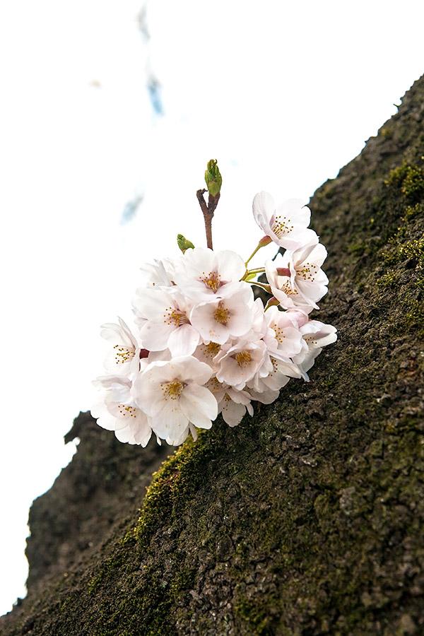 都立青山霊園の桜