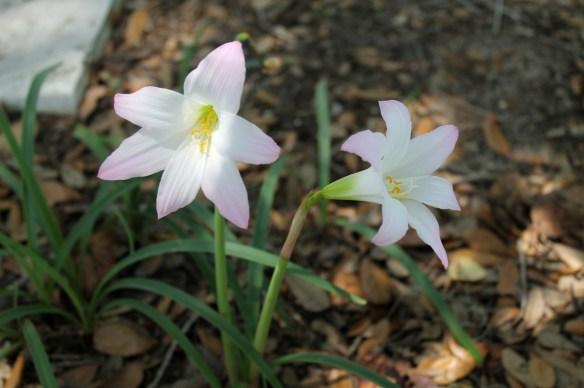 Surprise Lilies