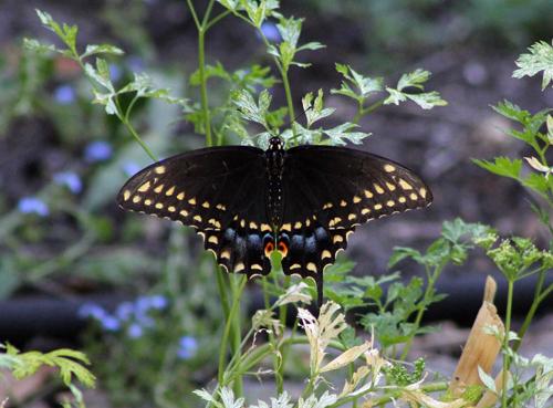 In the Garden, Eastern Swallowtail