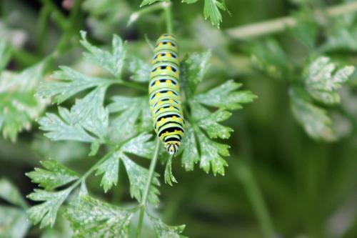 Butterflies in the Garden, Eastern Black Swallowtail