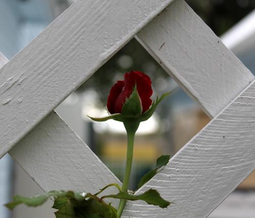 In the Garden, Don Juan Rose