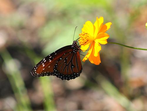 Butterflies and Moths in the Garden