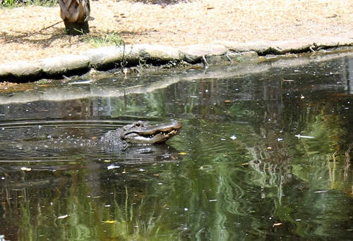 DIY Gator, Alligator at Homosassa Springs Wildlife Park