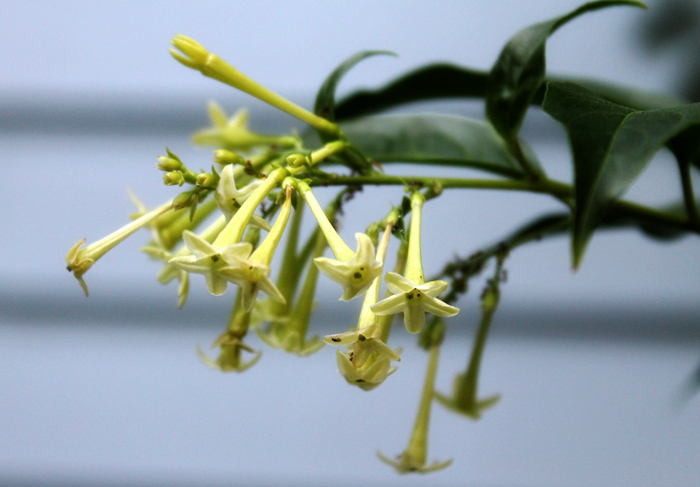 Nightblooming Jasmine