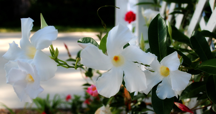Mandevilla, IN the Garden