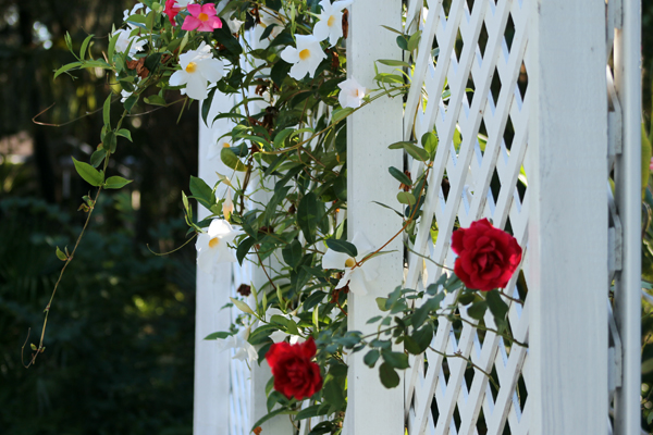 In the garden, roses and mandevilla