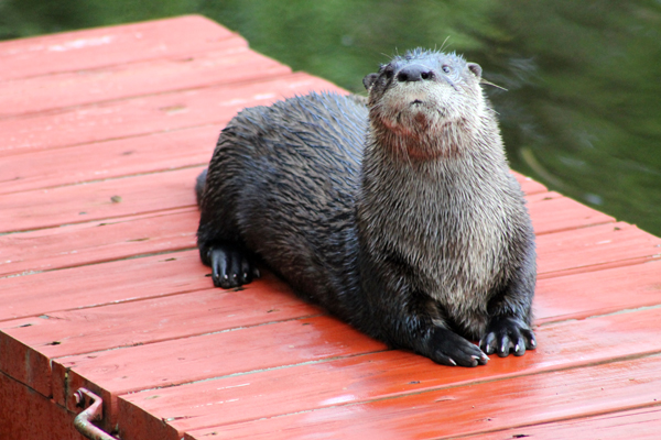 Otter on the kayak dock