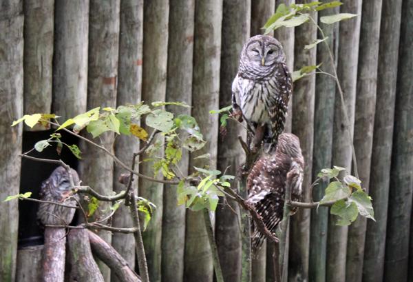 Owls, Homosassa Springs Wildlife Park