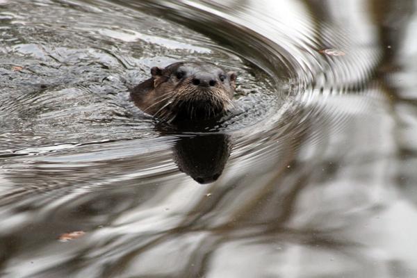 Otter leaving