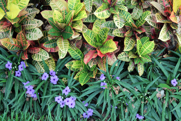 Crotons and Mexican Petunia