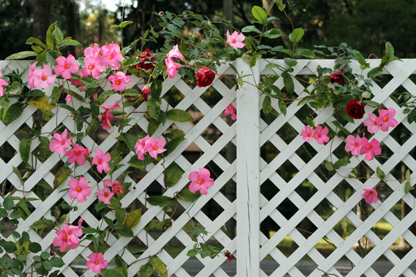 trellis of roses and mandevilla