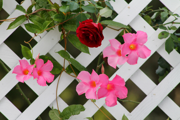 roses and mandevilla