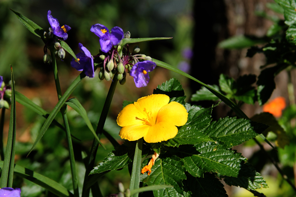 spiderwort and yellow flower