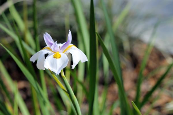 White African Iris