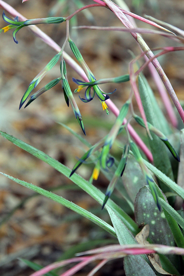 Billbergia Nutans Queen's Tears