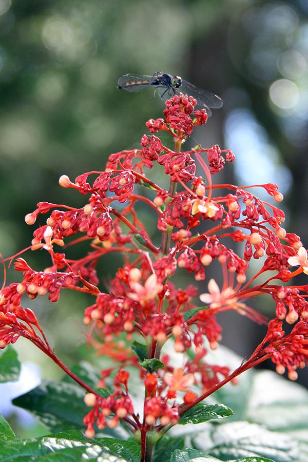 pagoda plant