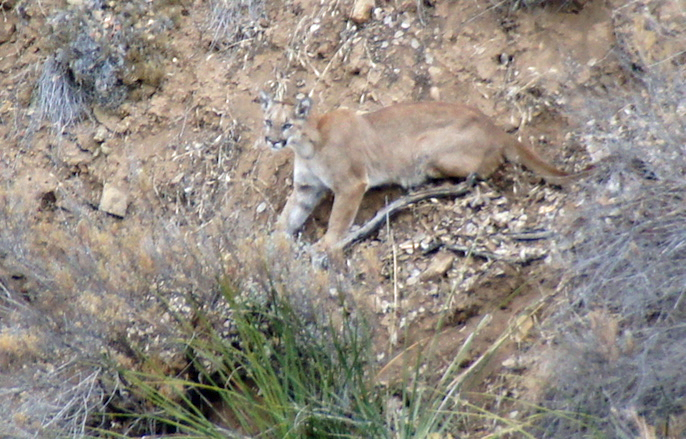 Mountain lion P-23 is seen on a hillside in the Santa Monica Mountains in a photo provided by the National Park Service.