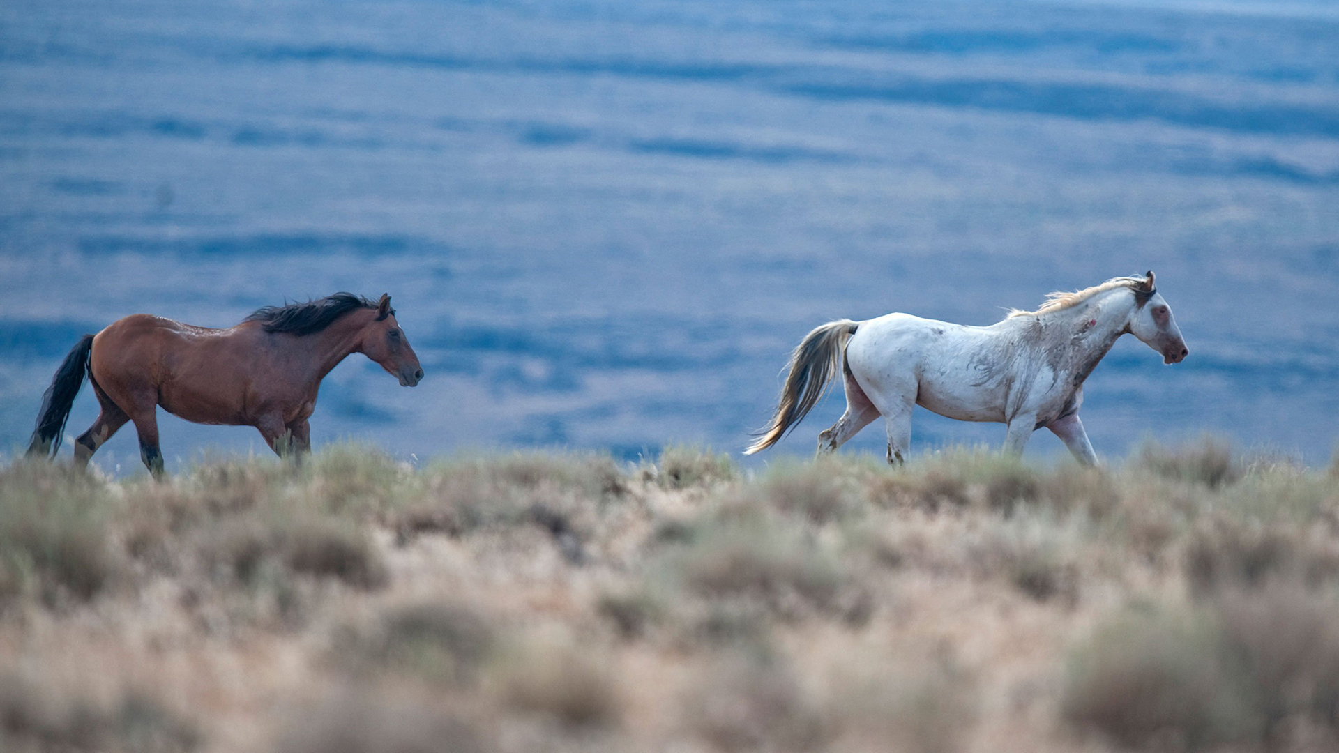 Two wild horses gallop in Lassen County near Susanville. (Credit::Hector Amezcua/Sacramento Bee/Getty Images)