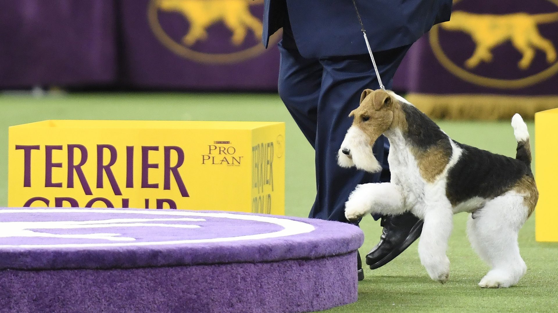 King, a Wire Fox Terrier and handler celebrate after winning the Terrier Group judging at the 143rd Westminster Kennel Club Dog Show at Madison Square Garden on Feb. 12, 2019, in New York City. (Credit: Sarah Stier/Getty Images)