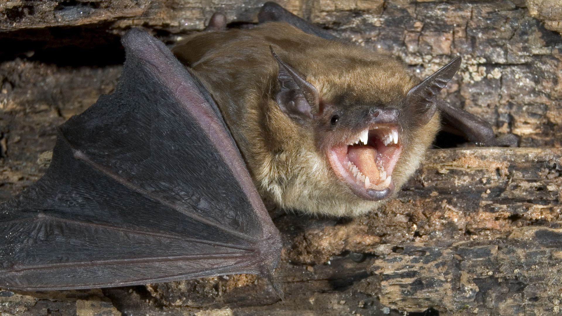 A brown bat is seen in this undated file photo. (Credit: iStock / Getty Images Plus)