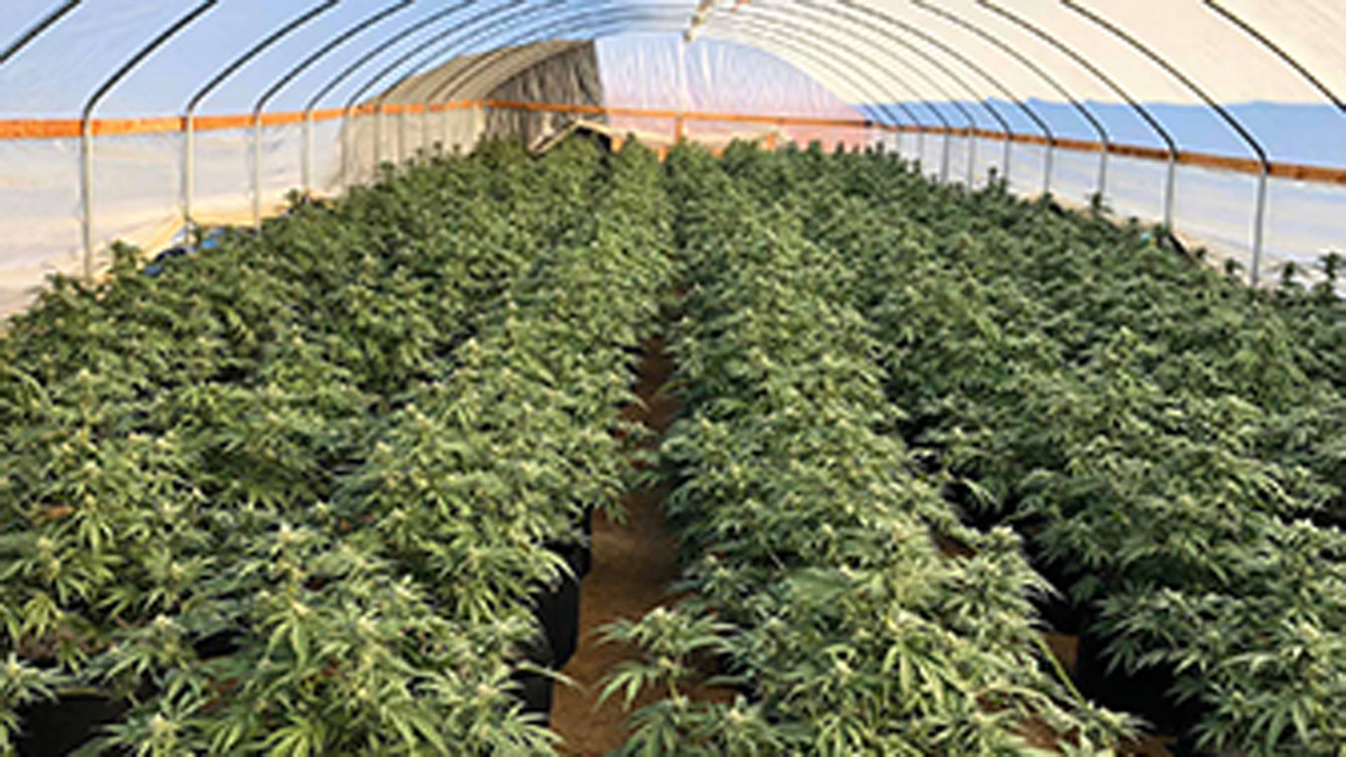 The Riverside County Sheriff's Department released this photo of some of the marijuana plants discovered in a raid on Oct. 7, 2019.