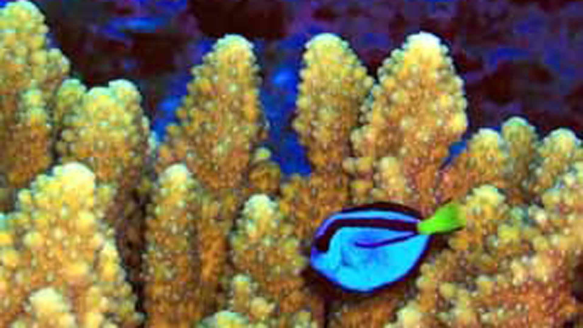 Acropora coral, pictured in an undated photo provided by the U.S. Fish and Wildlife Service.