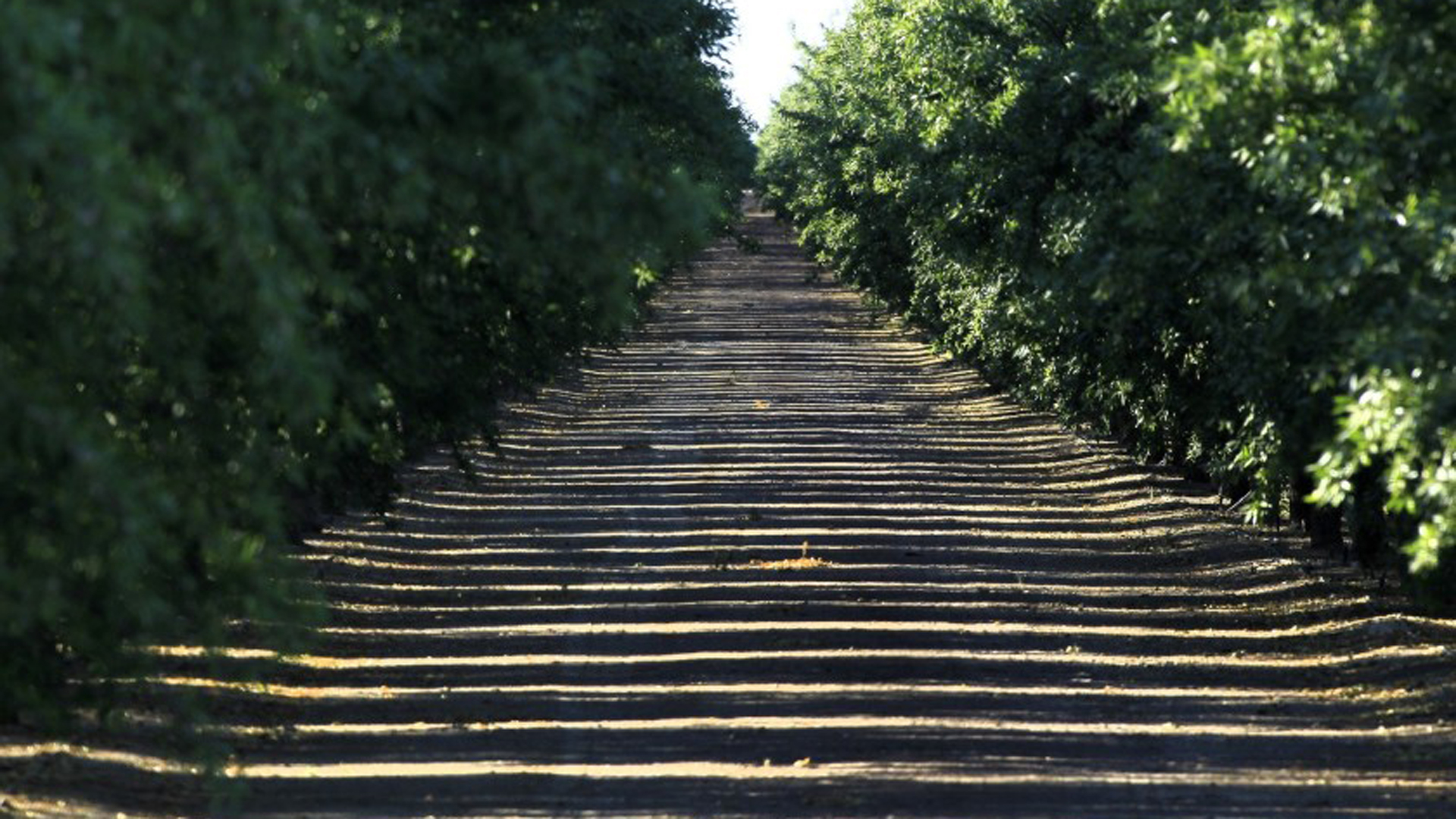 Sunlight seeps through an almond grove in the Westlands Water District in 2014. Plantings of nut trees in Westlands climbed even during California's brutal recent drought.(Credit: Brian van der Brug / Los Angeles Times)