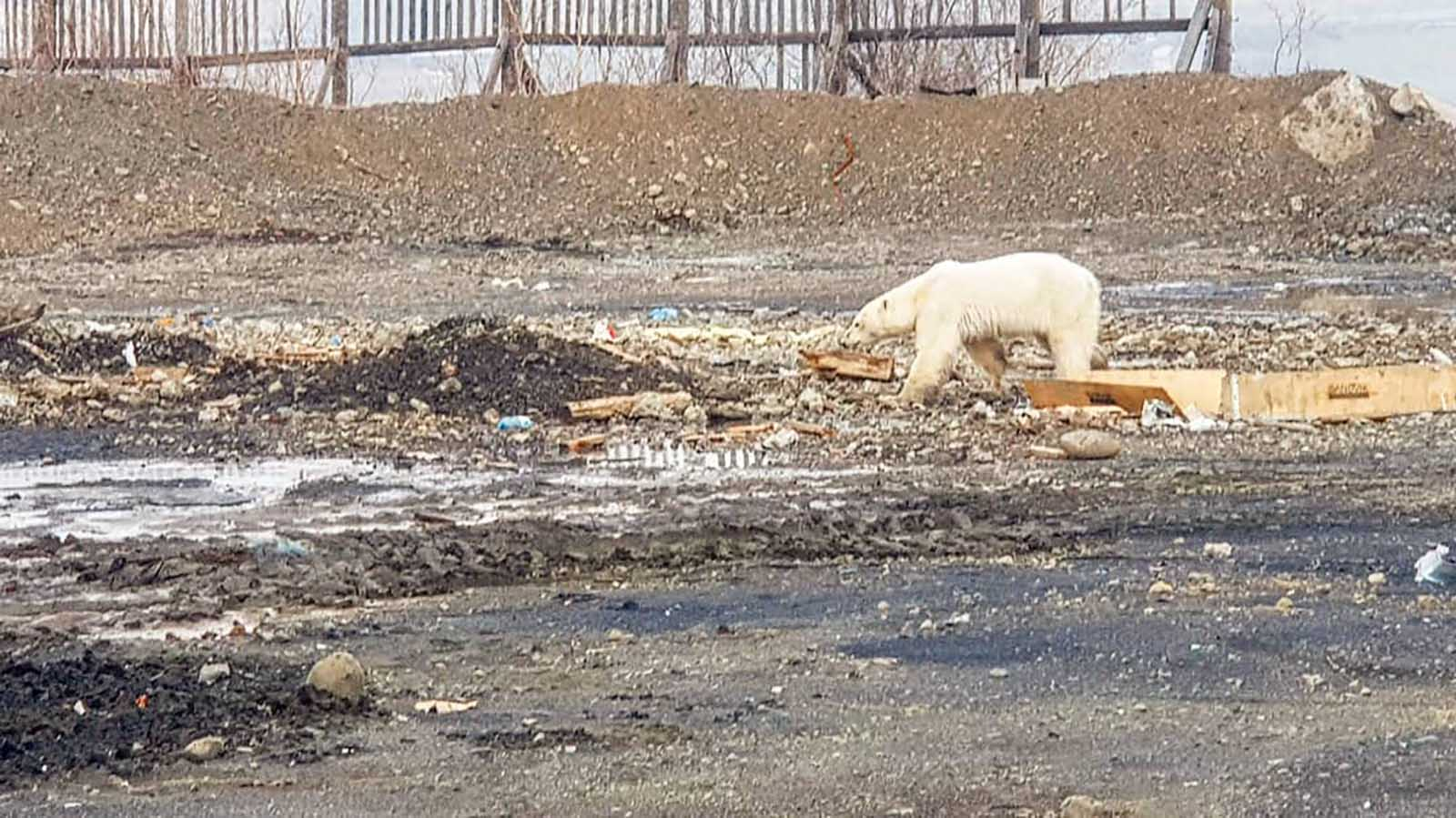 Polar bears have been forced to travel farther to find food, as sea ice continues to melt due to climate change. (Credit: Oleg Krashevsky/@putoranatour/Instagram via CNN Wire)