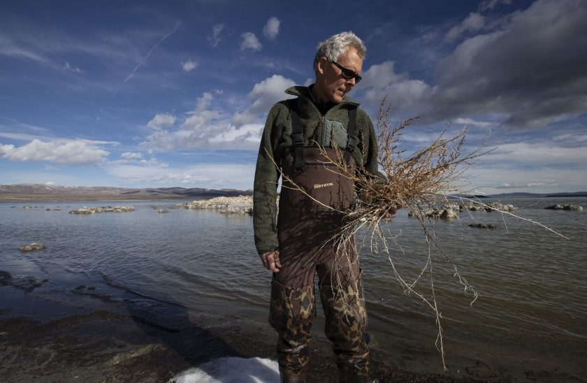 Mono Lake Committee's Bartshe Miller holds an invasive five-horn smotherweed in this undated photo.(Credit: Brian van der Brug / Los Angeles Times)