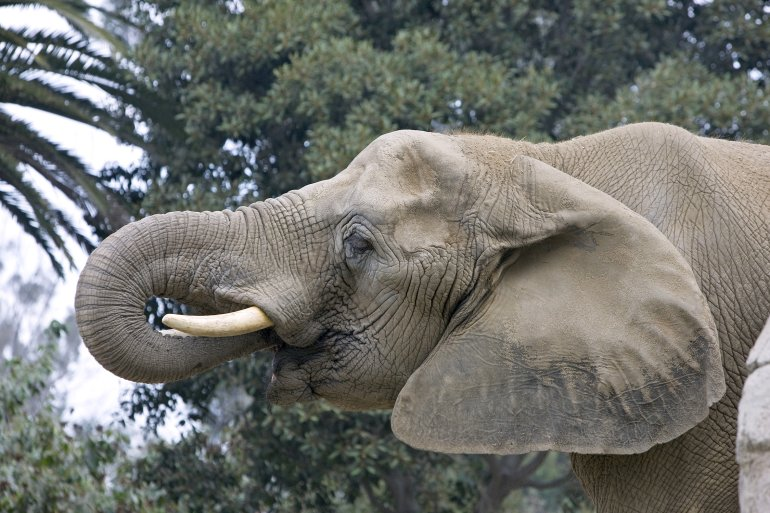 Tembo the elephant is seen in an undated photo. (Credit: San Diego Zoo)