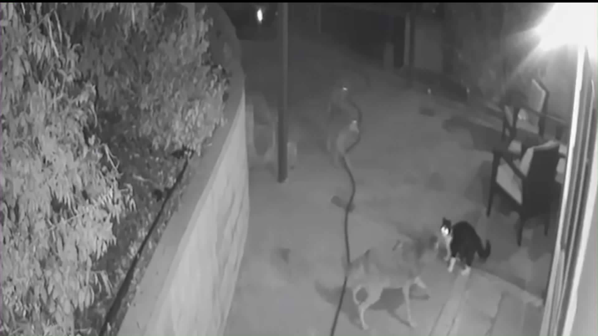 """""""Max"""" the cat fends off three coyotes in his backyard in Highland Park on Jan. 6, 2020. (Credit: Maya Gurrin)"""