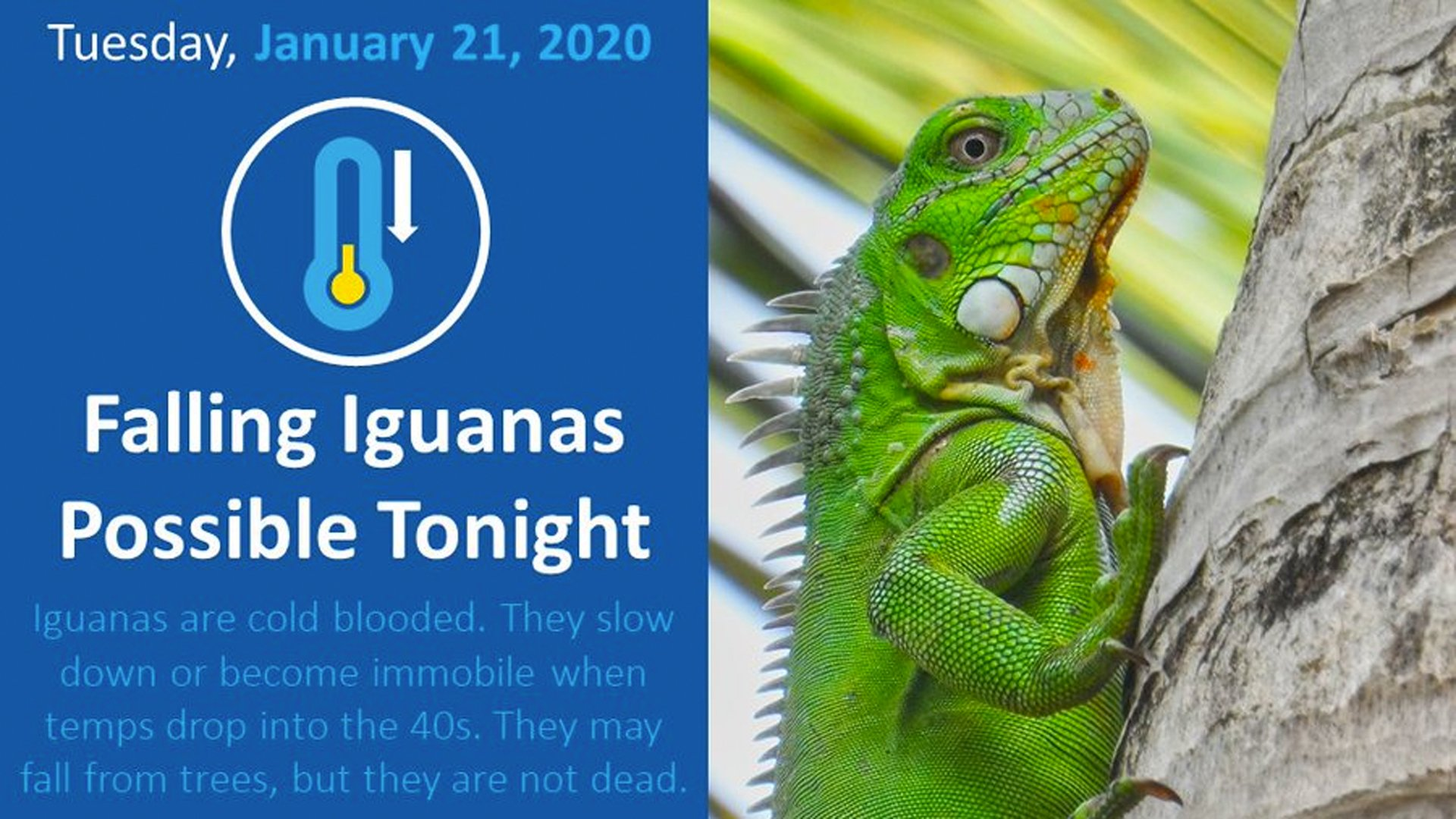 Tuesday afternoon, the National Weather Service in Miami issued a rare forecast regarding cold temperatures but it was for iguanas. (Credit: @NWS Miami/Twitter)