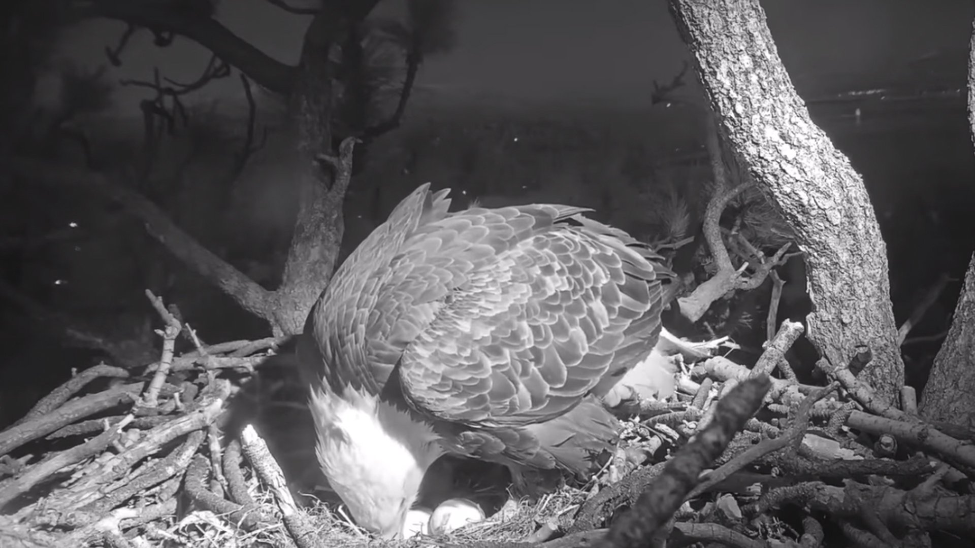 Jackie with her two eggs on Jan. 11, 2020. (Credit: Friends of Big Bear Valley)