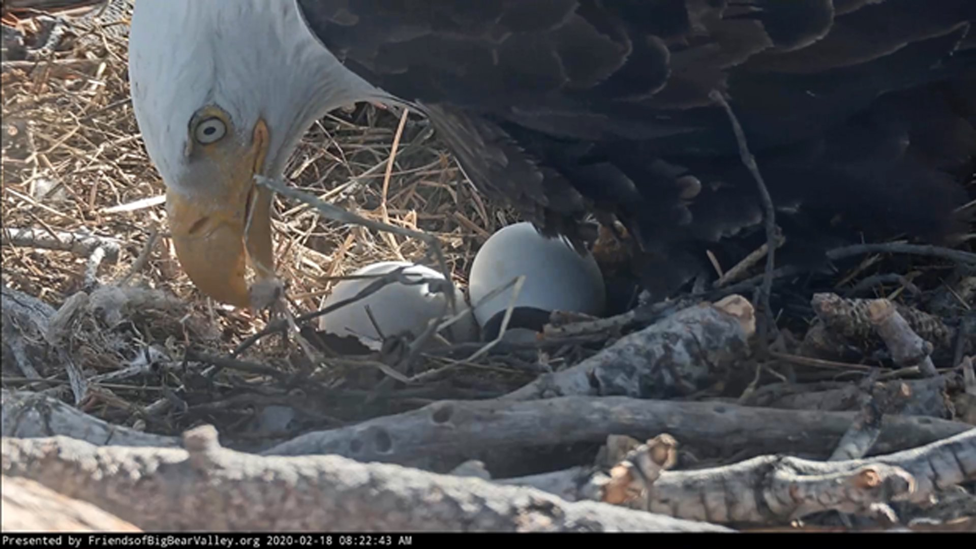 A close up of the eagle eggs is seen in an image from a camera operated by Friends of Big Bear Valley on Feb. 18, 2020.