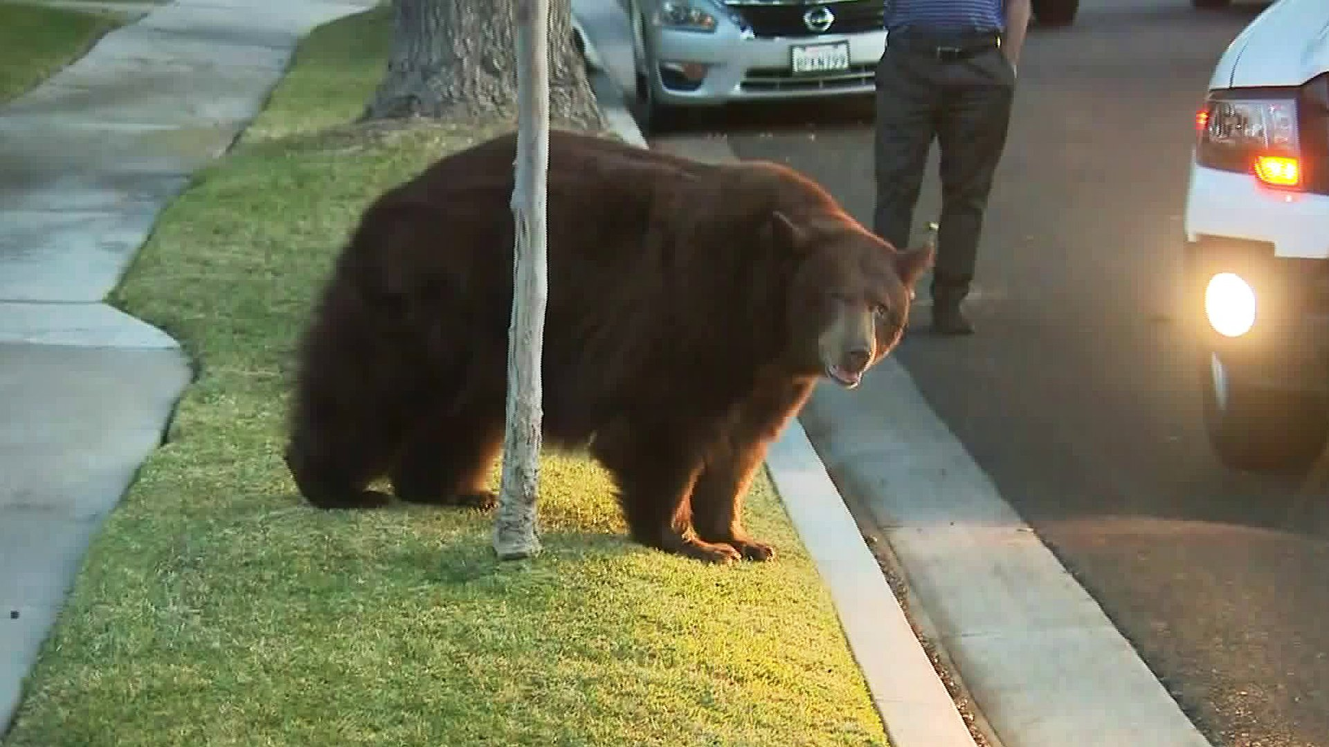 A bear in Monrovia walks near our news van on Feb. 21, 2020. (Credit: KTLA)