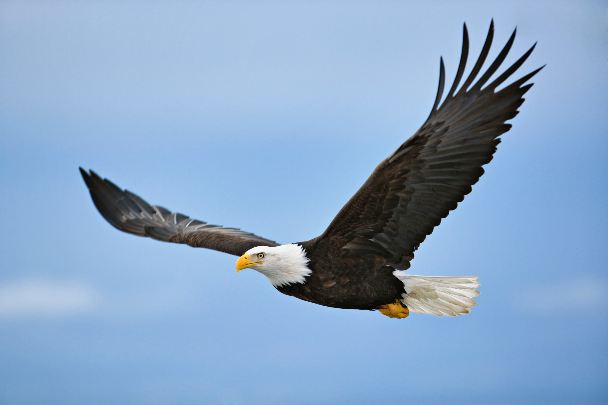 A bald eagle is seen a file photo. (iStock/Getty Images Plus)