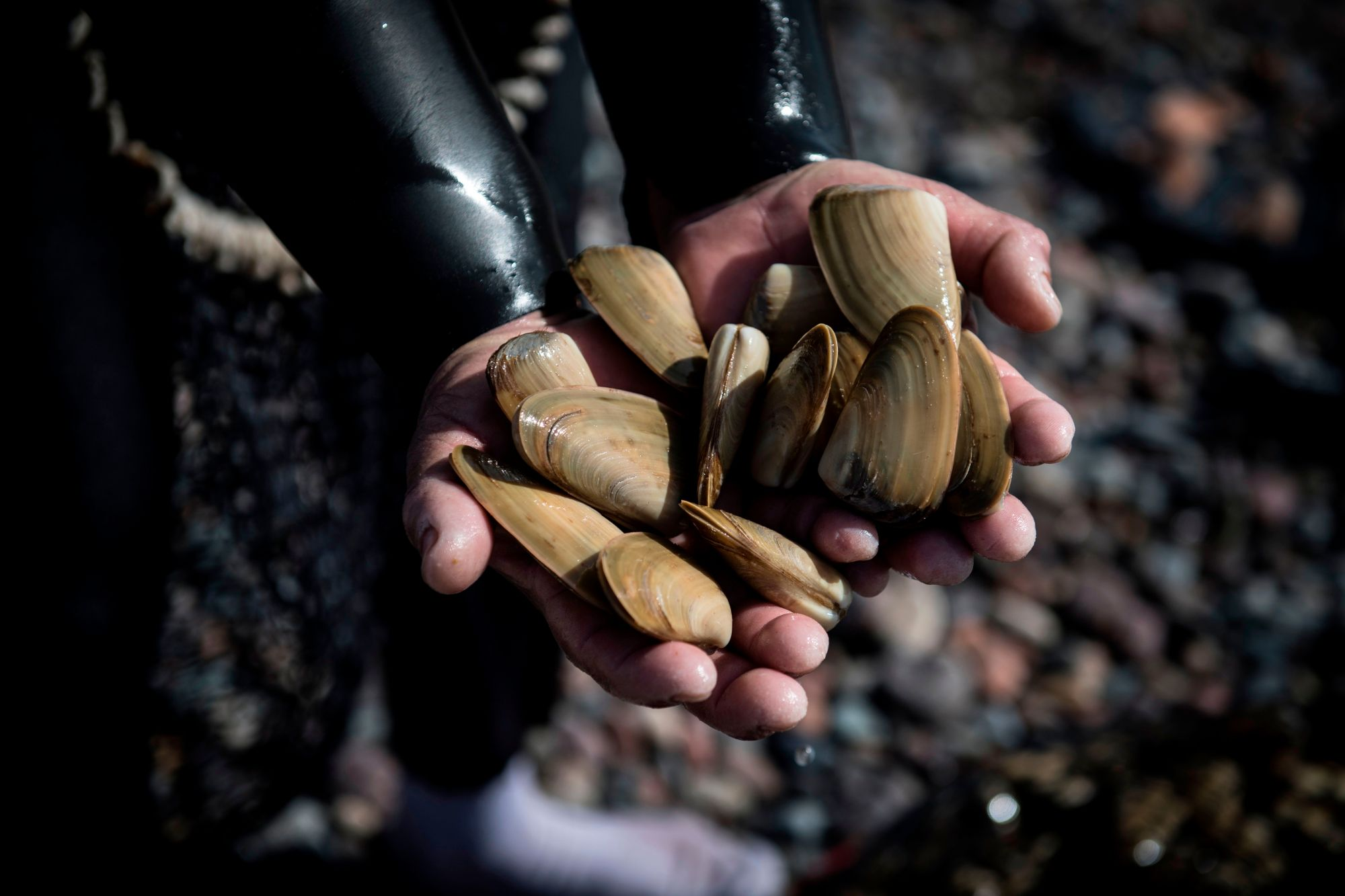 This Sept. 5, 2017 file photo shows a fisherman holding saltwater clams in Chile. (MARTIN BERNETTI/AFP via Getty Images)