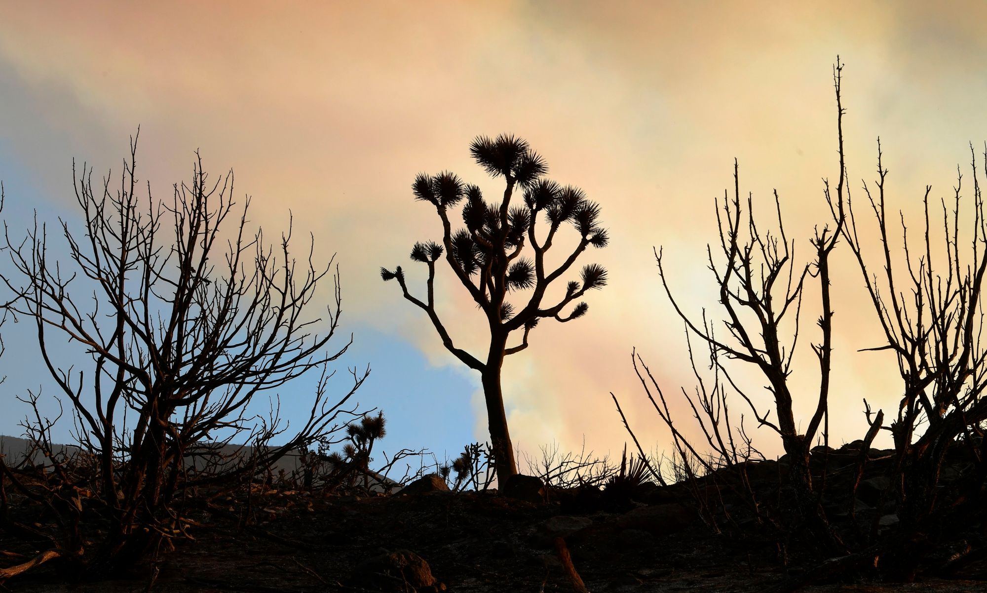 Fire-ravaged desert plants like the Joshua Tree (C) line a scorched landscape from the Bobcat Fire in the Mojave Desert community of Juniper Hills, Calif. on Sept. 19, 2020. (FREDERIC J. BROWN/AFP via Getty Images)
