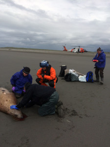 (L-R) Kate Savage (NOAA), Noah Meisenheimer (NOAA), Lt. Matthew Keiper (US Coast Guard), and Sadie Wright (NOAA) collect samples from a dead Steller sea lion near Cordova, Alaska. (Photo courtesy NOAA)