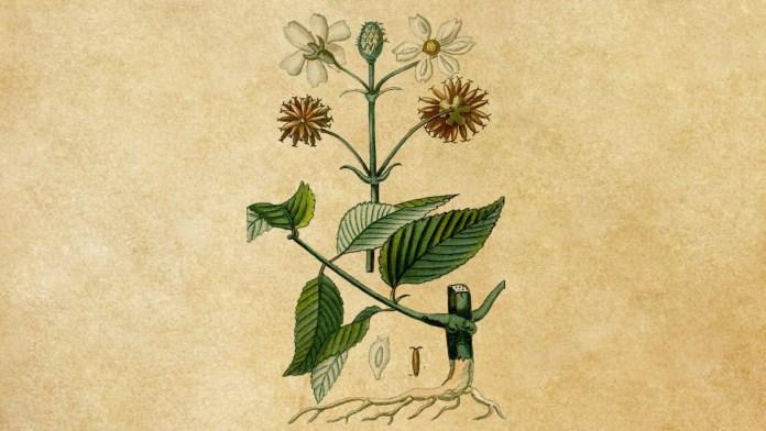 Uczep owłosiony – Bidens pilosa, jako ziołowy antybiotyk o działaniu ogólnoustrojowym