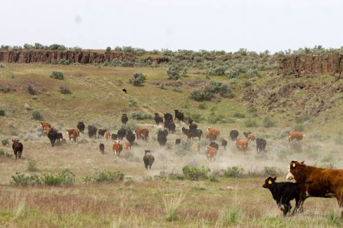Gathering the cows to sort and turn out with bulls
